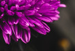 lilac aster close up