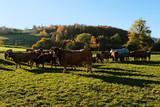 Kühe auf der Wiese - 176964167