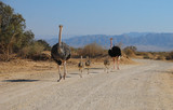 Family of African ostrich (Struthio camelus) with young chicks in nature reserve park, 35 km north of Eilat, Israel - 176968529