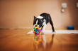 Little dog playing with a colorful ball in the house. Boston terrier.