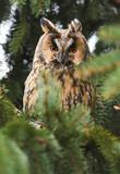Long-eared owl (Asio otus) - 176985963