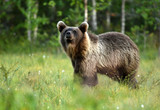 Wild brown bear (Ursus arctos) - 176986502