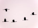 Flying Cranes in Formation - 176986922