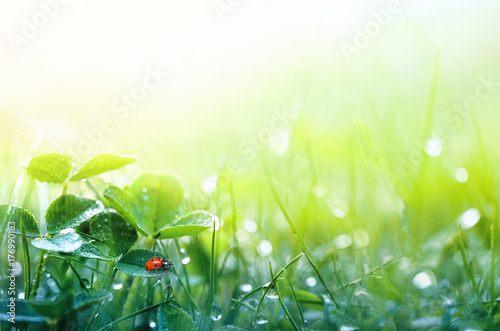 Leinwandbild Motiv Beautiful nature background with morning fresh grass and ladybug. Grass and clover leaves in droplets of dew outdoors in summer in spring close-up macro. Template for design.