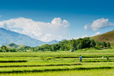 Rice field at Nueva Vizcaya, Philippines - 176991350