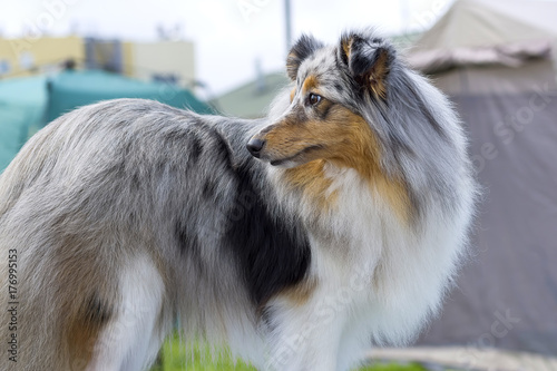 Foto op Plexiglas Kiev Collie Dog Close-up