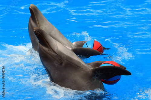 Two dolphins with balls in a pool Poster