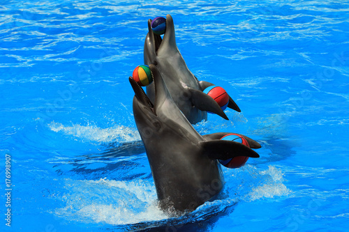 Fototapeta Two dolphins with balls in a pool