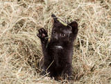 Mały czarny kot bawi się na się na sianie z aparatem fotograficznym - 177010797