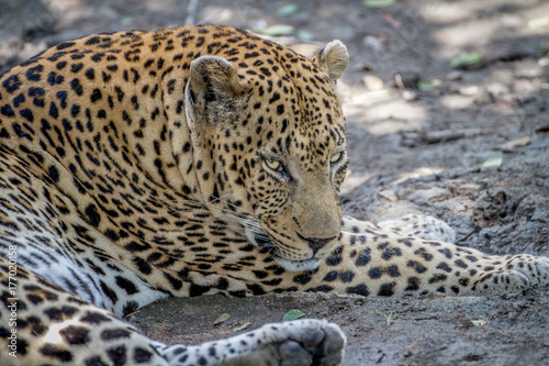 Big male Leopard laying down in Kruger.