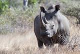 White Rhino in Kruger national park - 177025102