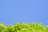 Bright green leaves against blue sky at the bottom of the frame, copy space using as background or wallpaper