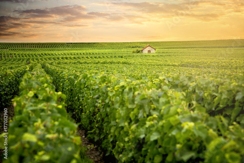 Champagne Vineyards at sunset, Montagne de Reims, France © Massimo Santi