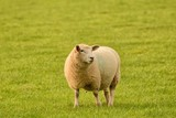Friendly sheep, 'smiling' at the camera, in a field in rural England - 177042110