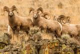 A Gang of Rocky Mountain Bighorn Rams - 177042343