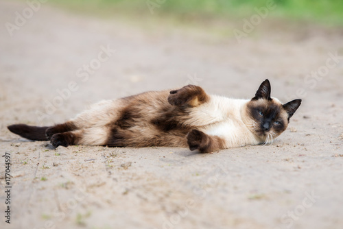 beautiful colorpoint cat lying down on the road