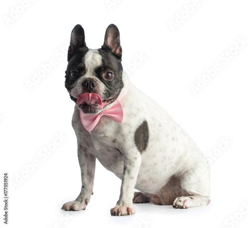 Aluminium Franse bulldog French bulldog with bow tie