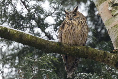 Long eared owl (Asio otus) perched in a tree