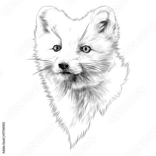 Fototapeta Arctic Fox sketch head vector graphics monochrome black-and-white drawing