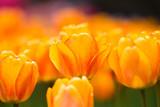 Tulip Time - 177063378