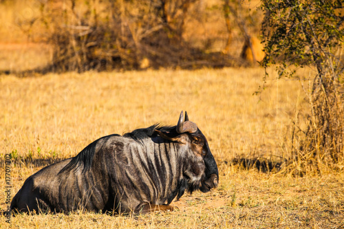 Sitting Wildebeest Poster