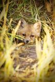 fox cub - 177072119