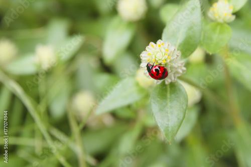 Red beetle (Ladybird beetles) on grass flower in the garden.