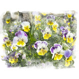 Yellow and purple blossom pansy. - 177076716