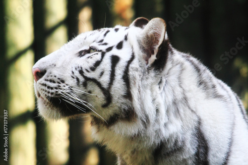 Tuinposter Panter white tiger head
