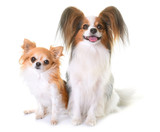 young papillon dog and chihuahua - 177090536