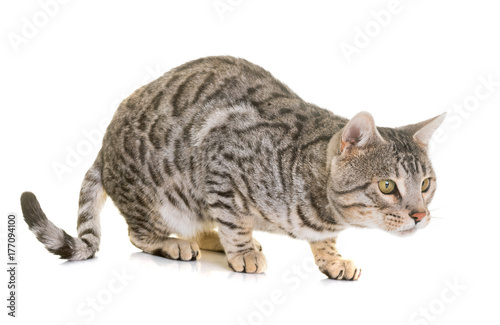 bengal cat in studio Poster
