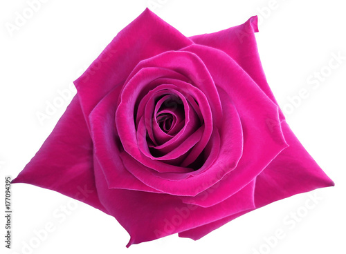 Fotobehang Roze Pink rose flower on white isolated background with clipping path. no shadows. Closeup. Nature.
