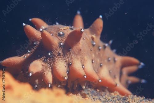 trepang molluscum underwater photo