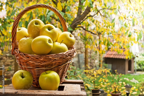 Wicker Basket with Yellow Apples in the Garden.
