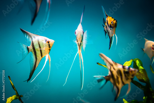 collection of angelfishes Poster
