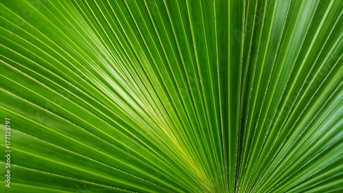 Abstract image of Green Palm leaves in nature  - 177123797