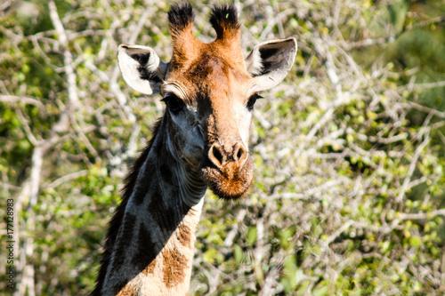 Inquisitive giraffe Poster