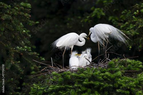 Great Egret, Common Egret, Large Egret, baby Egret,Great White Heron - Ardea alb Poster