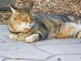 europäische Katze Hauskatze - 177139726
