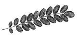 decorative acacia leaf - 177140531
