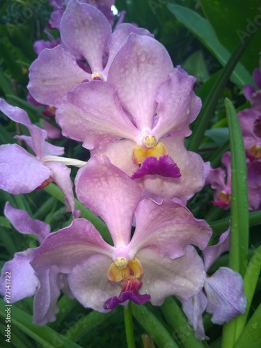 Pink Papilionanda Tan Chay Yan orchids in a Singaporean garden Poster