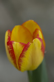 Yellow and red tulip - 177144153