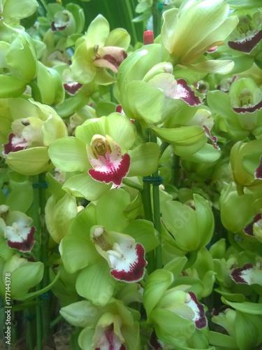Green Cymbidium Orchids in a Singaporean garden Poster
