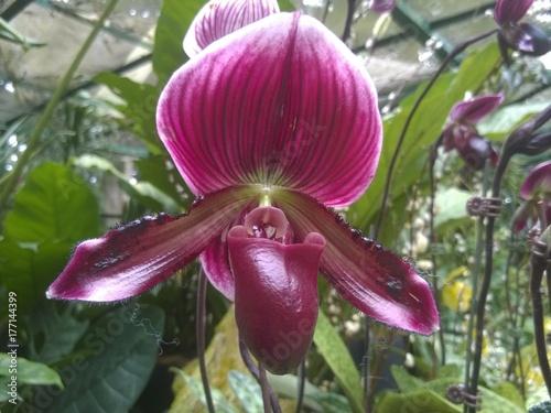 Lady`s slipper orchid (Paphiopedilum Cypripedium) in a Singaporean garden Poster