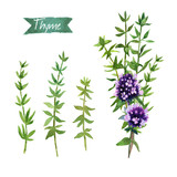 Thyme  twigs and flowers watercolor illustration with clipping paths - 177151507