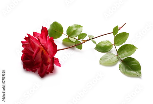 Red rose with twig and leaves isolated on white background