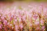 pink flowers fields background - 177162779