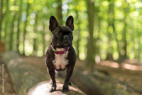 Deurstickers Franse bulldog Mops im Wald