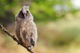 portrait of a juv long-eared owl - 177169153
