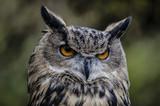 Eurasian Owl - 177175557